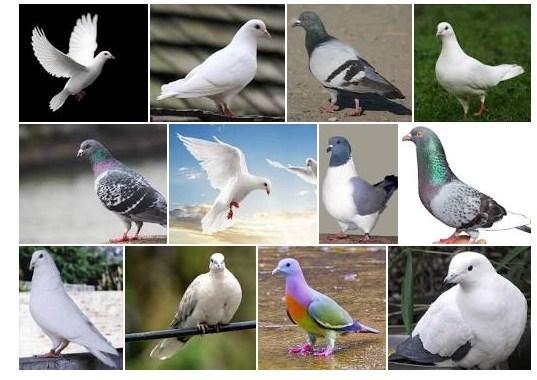jenis burung merpati