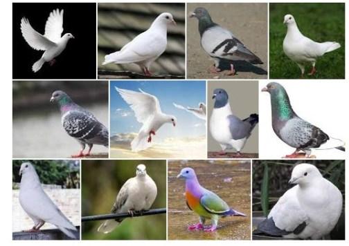 1010 Foto Gambar Burung Merpati Yang Sangat Cantik HD Terbaru