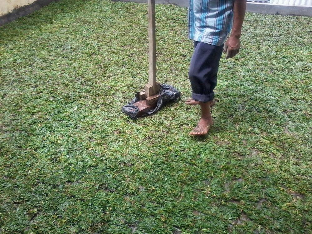 penanaman rumput gajah mini