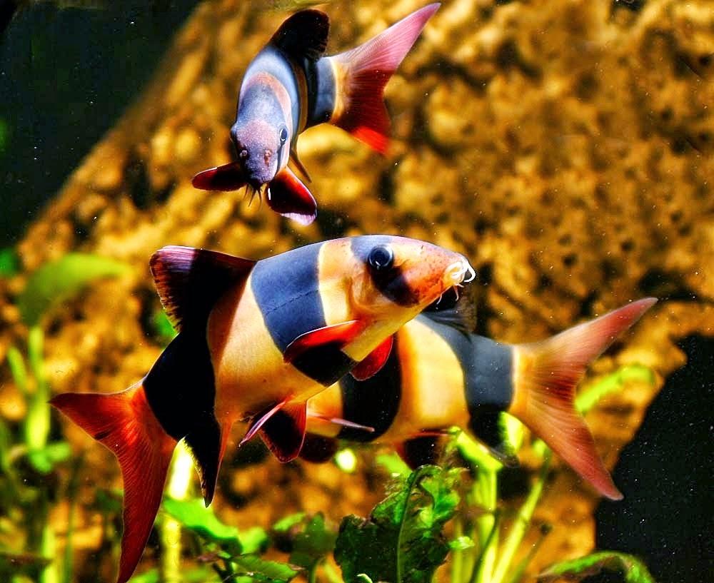 Jenis Ikan Botia Macracanthus