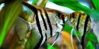 Ikan Manfish, Malaikat Air yang Penuh Pesona