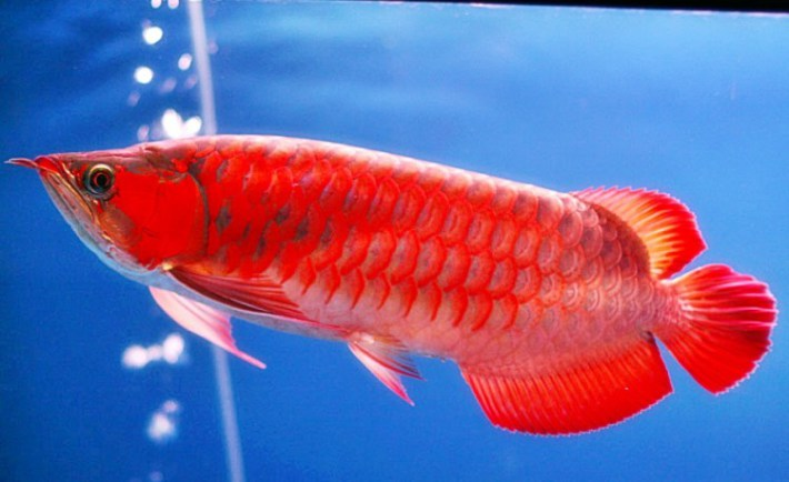 ikan arwana super red