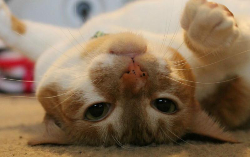 Membersihkan lubang hidung kucing