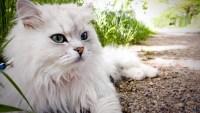 Jenis-Jenis Kucing Persia yang Lucu dan Perawatannya