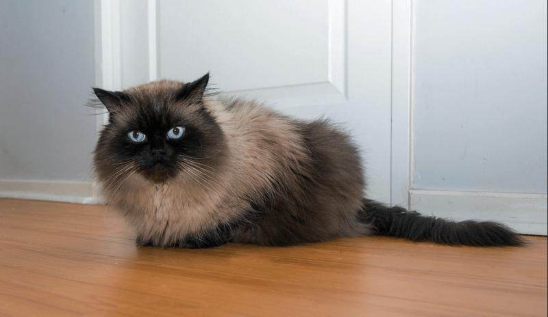 Jenis Jenis Kucing Persia Yang Lucu Dan Perawatannya