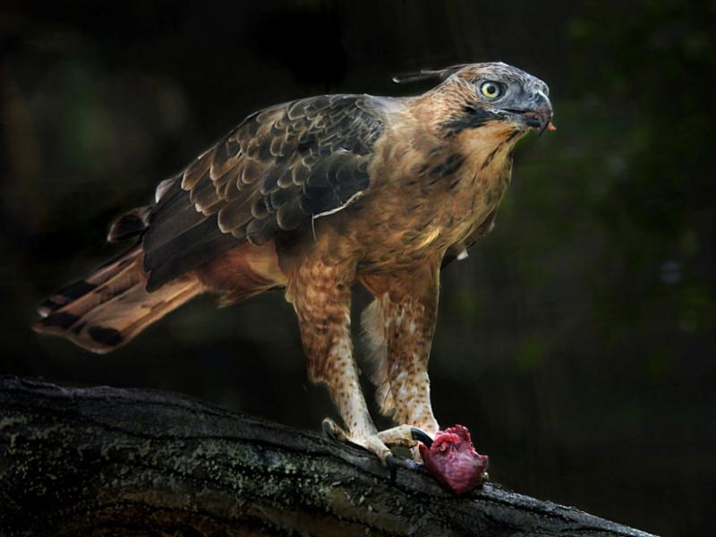 Burung Garuda, Simbol Negara Kita dan Fakta-Fakta Tentangnya