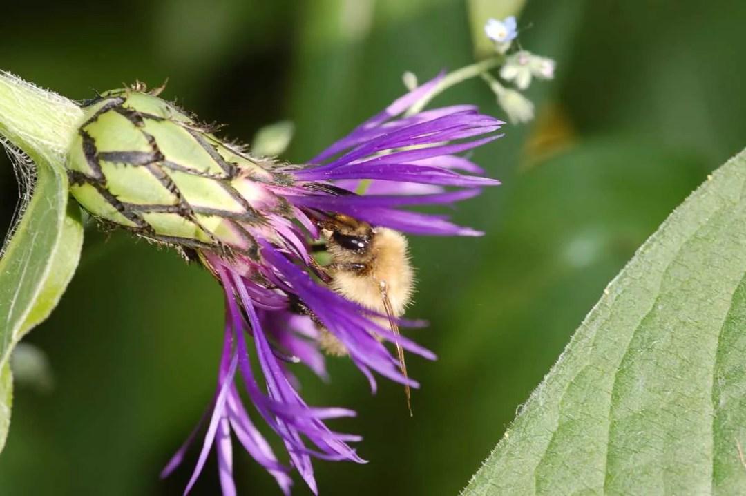 L'abeille curieuse - Portfolio de Francis Gengoux