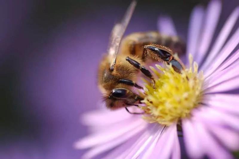 L'abeille : précieuse et menacée