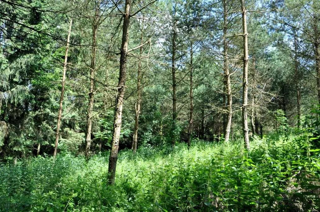 plantation de pins sylvestres