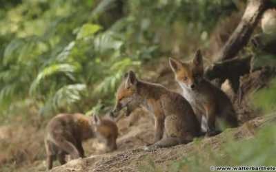 Land of fox | Vidéo de Walter Barthélemi