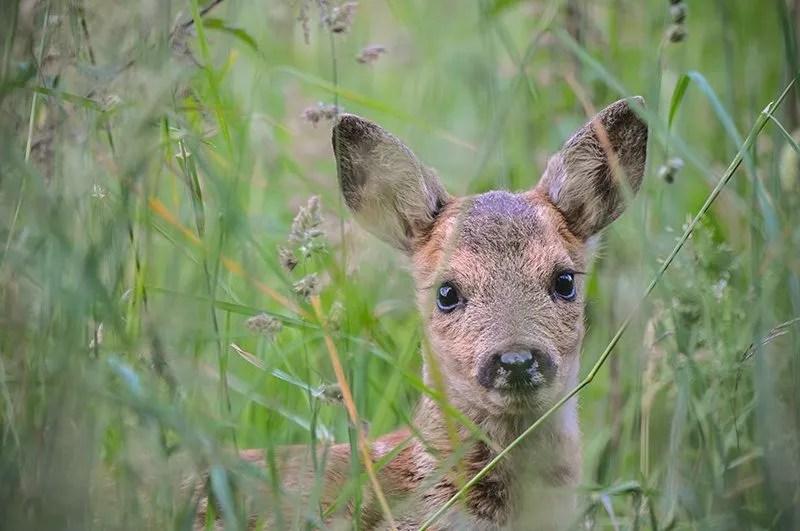 Jeune faon dans les hautes herbes