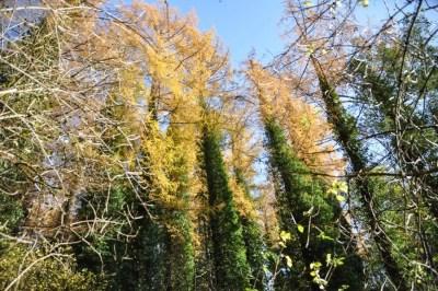 Ollomont-Les mélèzes assailis par le lierre sur le chemin de la Cresse Sainte-Marguerite