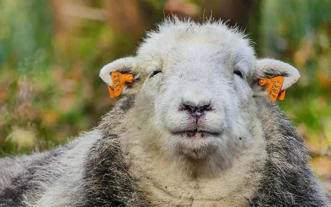 «Bois sous les Granges», la réserve naturelle de Huguette et ses moutons Herdwick  | Vresse Sur Semois