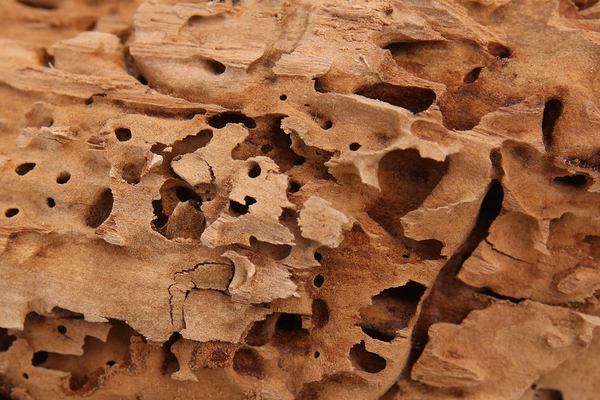 Close up of carpenter ant damage in a piece of wood.