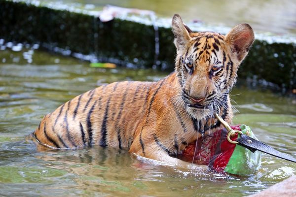 Cute Tiger Cub Playing In The Water At Thetiger Temple In 8669307