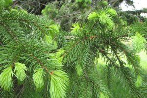 Cara Memanfaatkan Daun Pinus sebagai Obat Stroke