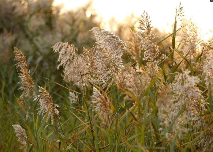 Rumput Gelagah