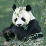 Nouvel antibiotique découvert chez les pandas