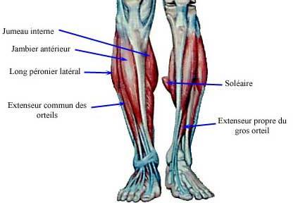 Calf Anatomy