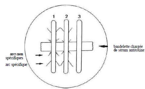 SCHÉMA 3 : test d'ELEK avec souche 1 de référence toxinogène souches 2 et 3, la 2 est toxinogène, la 3 ne l'est pas.