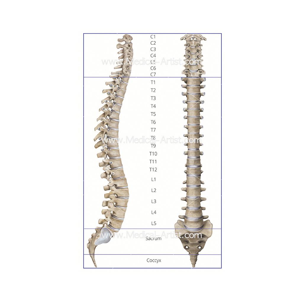 Skeleton Illustrations