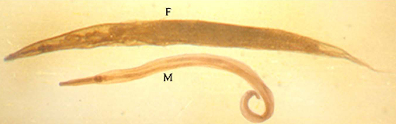 Oxyuris vermicularis jantan dan betina