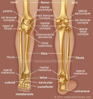Leg Bones  Medical Art Library
