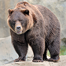 What can studying grizzly bears reveal about human diabetes?