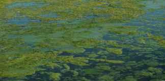 Microalgae extract