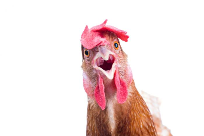 https://i1.wp.com/www.medicalnewstoday.com/content/images/articles/311/311749/a-shocked-chicken.jpg