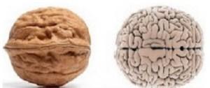 Ressemblance de la noix et du cerveau