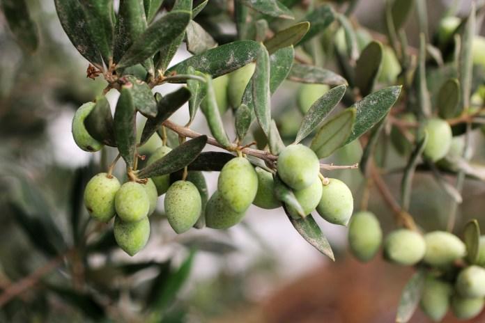 L'huile d'olive : nature, agriculture, artisanat commerce et culture (partie 2)
