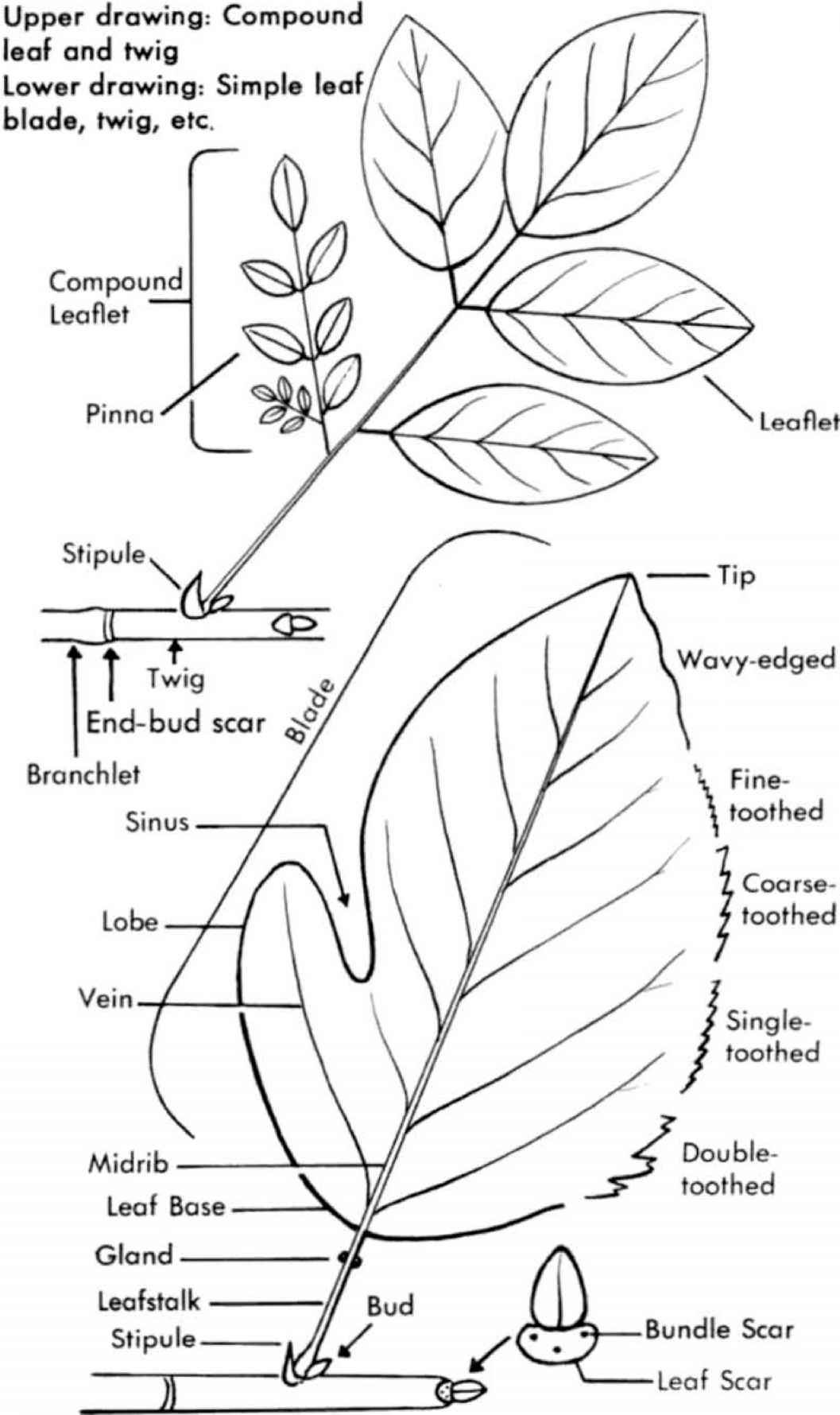 Diagram Apple Seed Diagram Full Version Hd Quality Seed