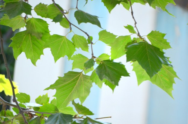 sycamore-leaves