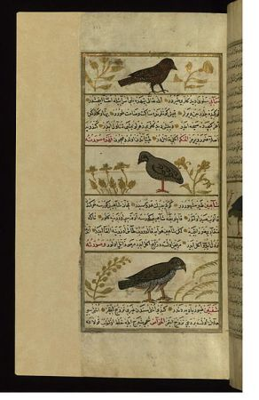 Medieval Birds - This folio from Walters manuscript W.659 depicts a starling, a quail, and a royal falcon.