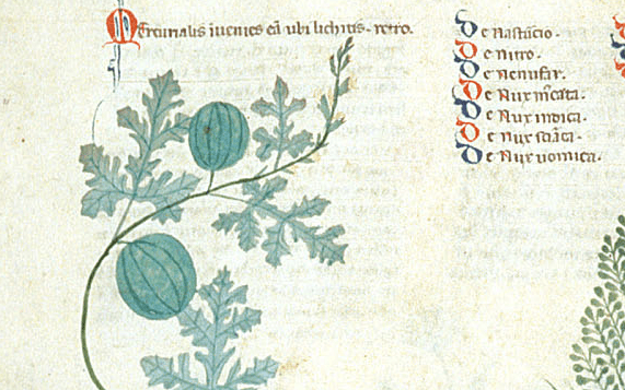 Image of watermelon from the Tractatus de herbis, British Library ms. Egerton 747, which was produced in southern Italy, around the year 1300