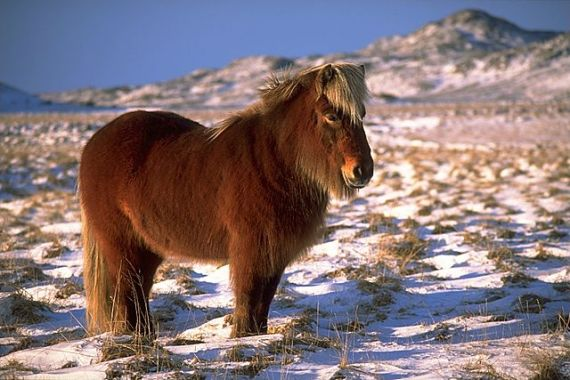 An Icelandic horse near Krýsuvík. Photo by Andreas Tille / Wikimedia Commons
