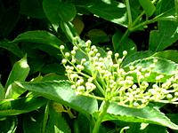 plante-diurétique