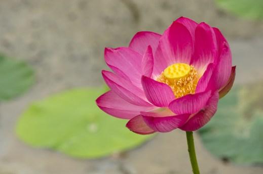 Lotus - Loto