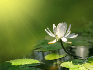 The Meaning Of The Lotus Flower Meditation Relax Club