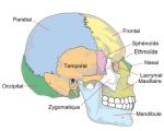 Squelette - Crâne