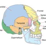 Squelette de la tête