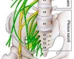 Anatomie et physiologie du nerf périphérique