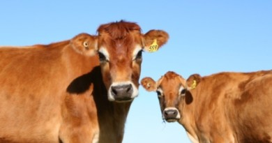Smanjuje se broj goveda na hrvatskim farmama, ali raste broj na državnim jaslama!