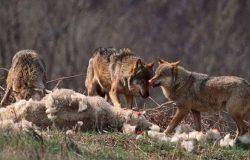 Ako je vuk sit i koza cijela, znači da je najebala ovca!