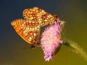 leptiri šarenci