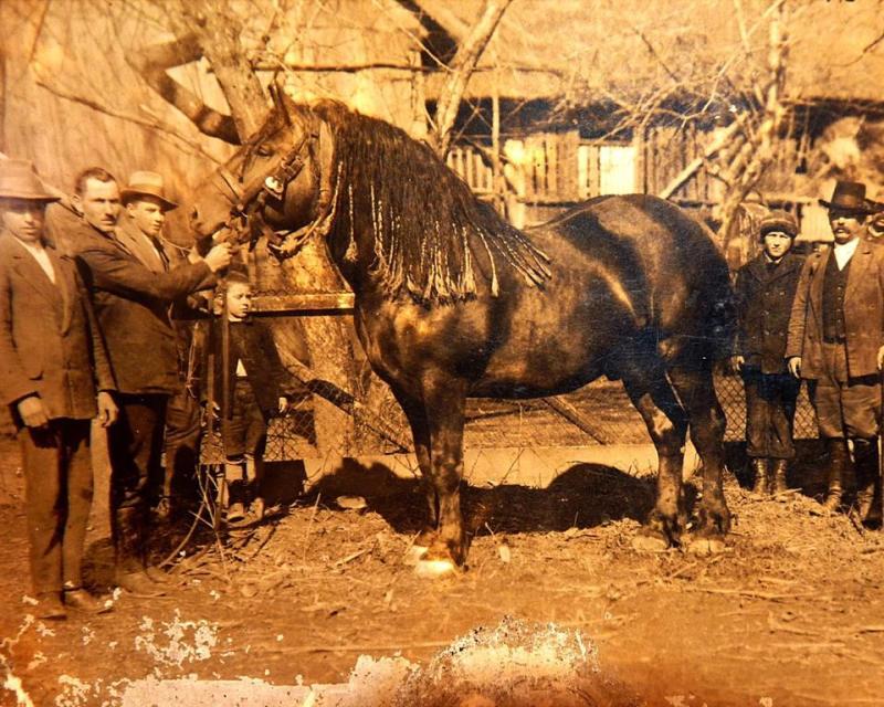 MEĐIMURSKI KONJ - MURAKÖZI LÓ - MEDJIMURJE HORSE