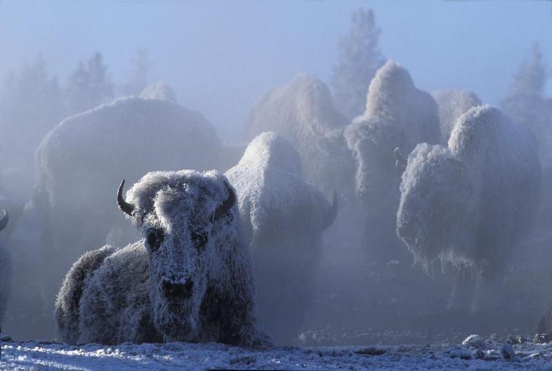 Bizoni u smrznutom Yellowstone parku, savezna država Wyoming, USA