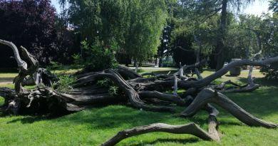 Staro drvo u parku Čakovec