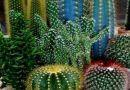 Bodljikavi savjeti Bojane Novak: Uzgoj kaktusa iz mog ugla!